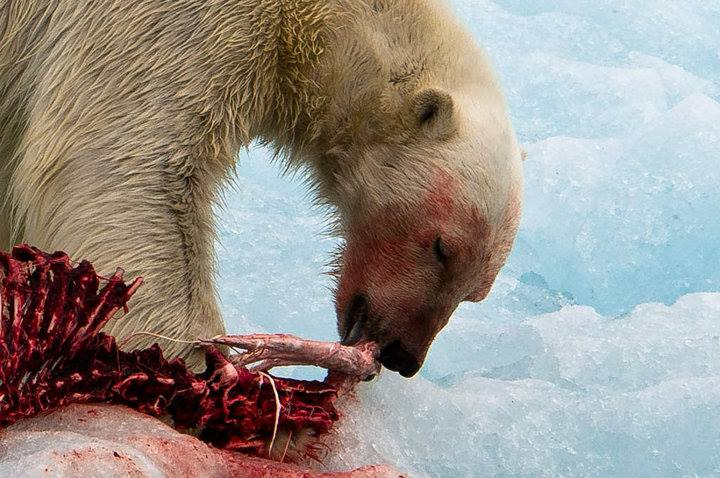 A polar bear feeding on ringed seal, svalbard