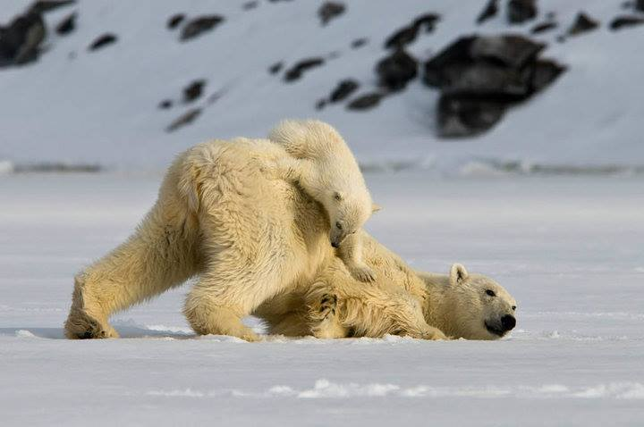 A polar bear mother and her cub playing in the midnight sun