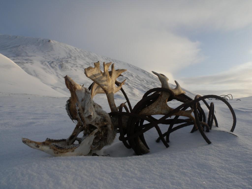 Reinsdyrskalle, Svalbard