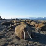 Walrus safari Svalbard