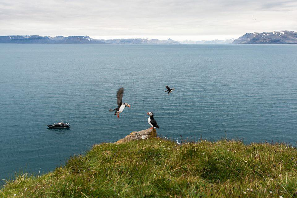 Puffins by Frede Lamo, Spitsbergen