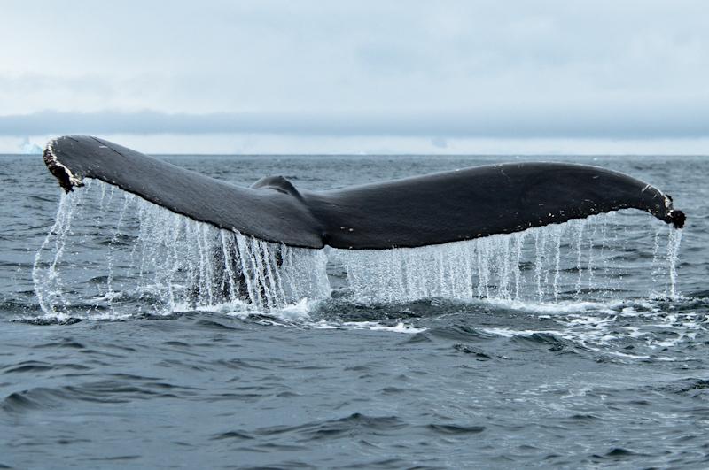 Knølhval hale, Svalbard