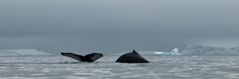 Humpbacks Svalbard