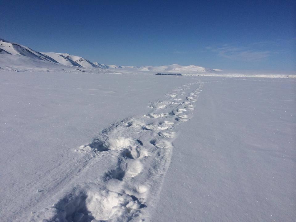 Polar bear tracks, Spitsbergen