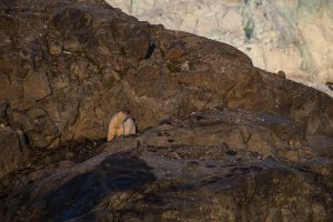 Isbjørn ved Nordenskiöldbreen