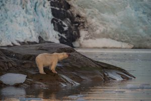 Polar bear by glacier in summertime
