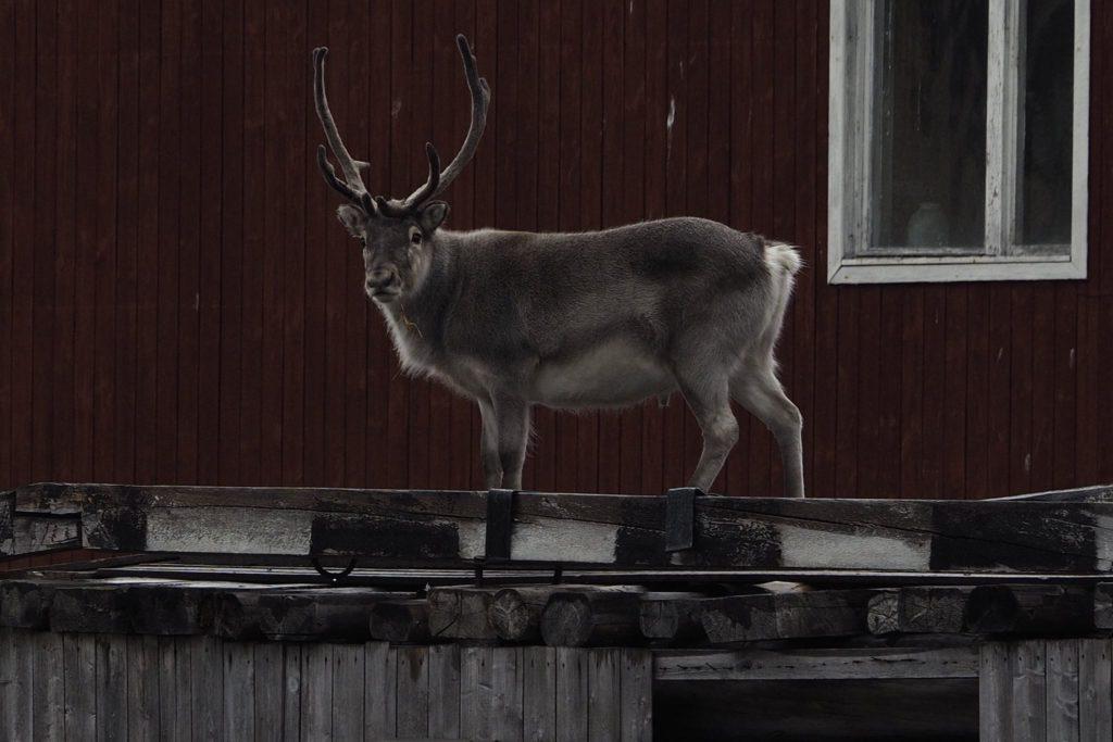 Svalbard Reindeer in Pyramiden by Eli Gunnemark