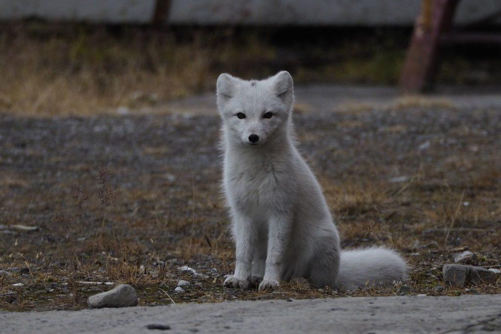 Polar Fox in Pyramiden - by Eli Gunnemark