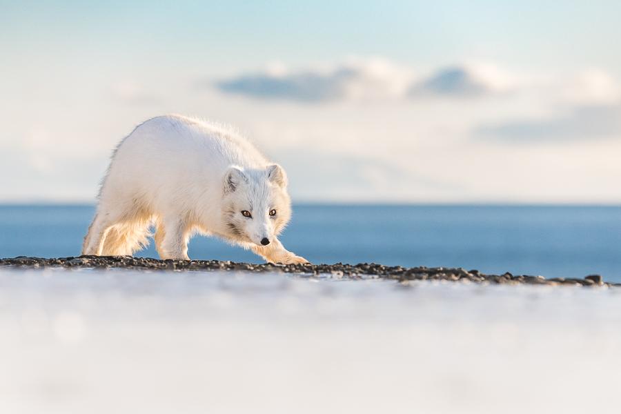 Svalbardrev